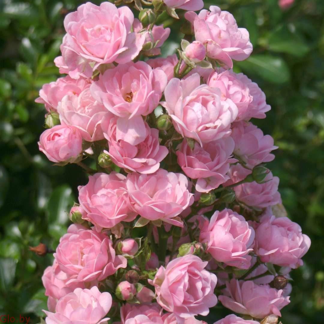Cортовые розы, пионы, тюльпаны, гортензии, клематисы и др