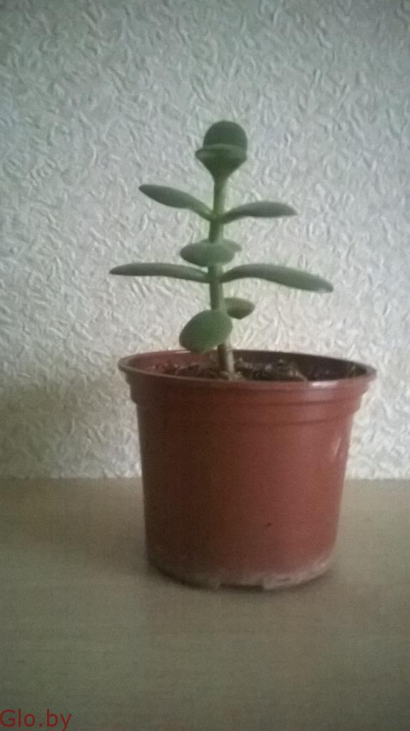 Денежное дерево (крассула, толстянка)