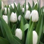 Свежий срез тюльпанов к 8 Марта, бронирование.