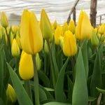 Тюльпаны Strong Gold (Стронг Голд) желтые опт
