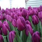 Оптовый заказ на Тюльпан Purple Flag фиолетовый к 8 Марта