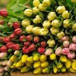 Качественные Тюльпаны выгодно оптом в Минске