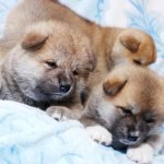 милые щенки акиты (Тигровые и рыжие) продажа
