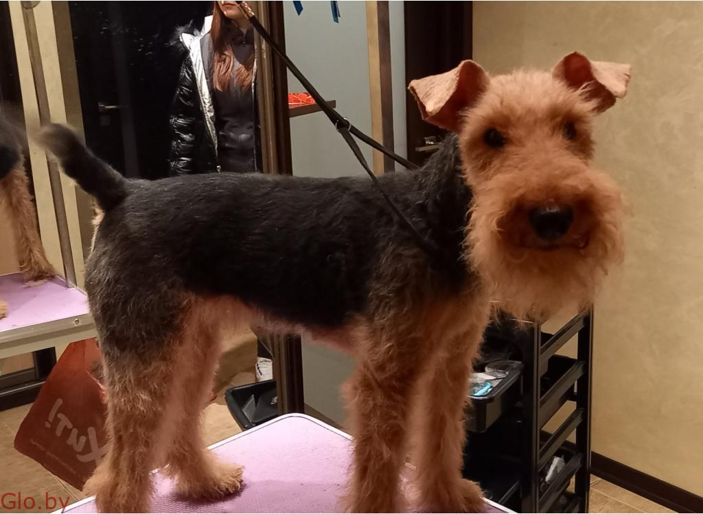 стрижка тримминг собак