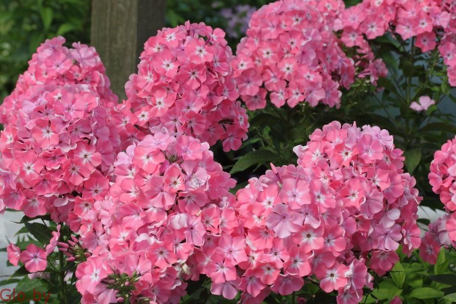 Сортовые Флоксы для Вас и Вашего сада!