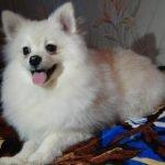 Померанский шпиц - мальчик, белый крем. 5,5 месяцев.