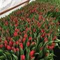 Тюльпаны выгодно оптом и в розницу в Минске.