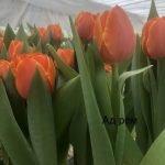 Тюльпаны свежие оптом от 500 шт