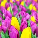 Срез тюльпанов к 8 Марта, бронирование.