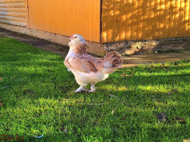 Цыплята редких пород