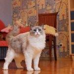 котята Рэгдолл (питомник)