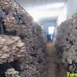 Грибное производство вешенки,мицелий